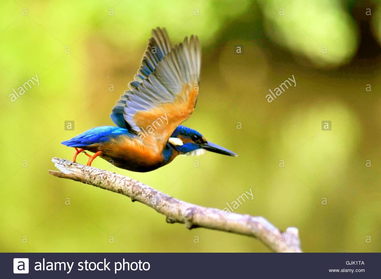 animal animals kingfisher - Stock Image