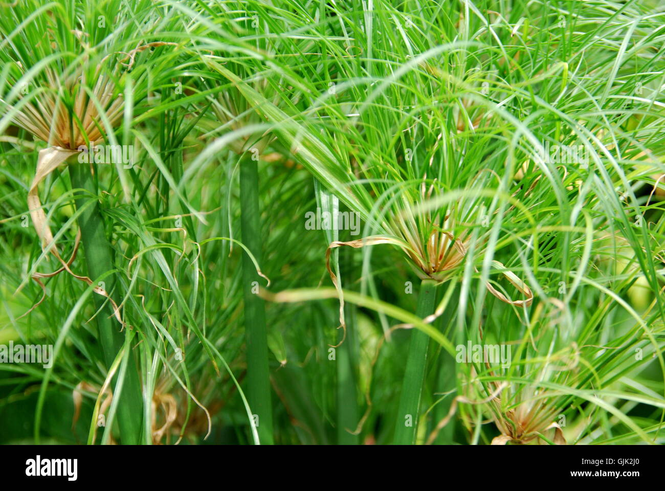 papyrusi plant green - Stock Image