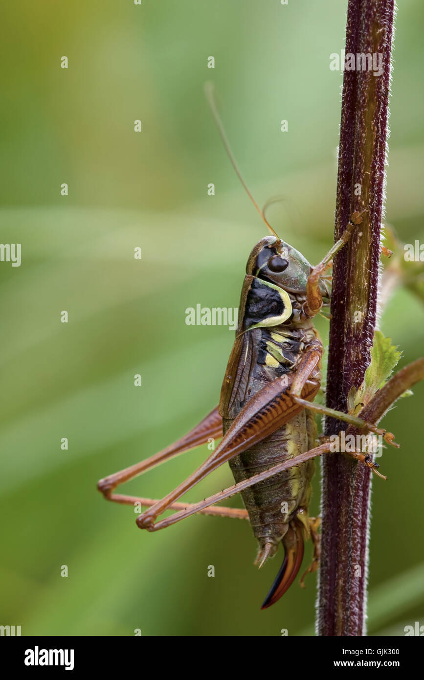 grasshopper periled insects - Stock Image