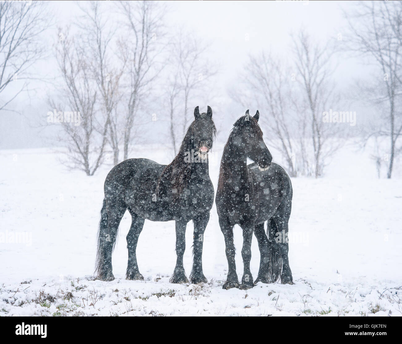 Comical face on black Friesian Horse mares in snowstorm - Stock Image