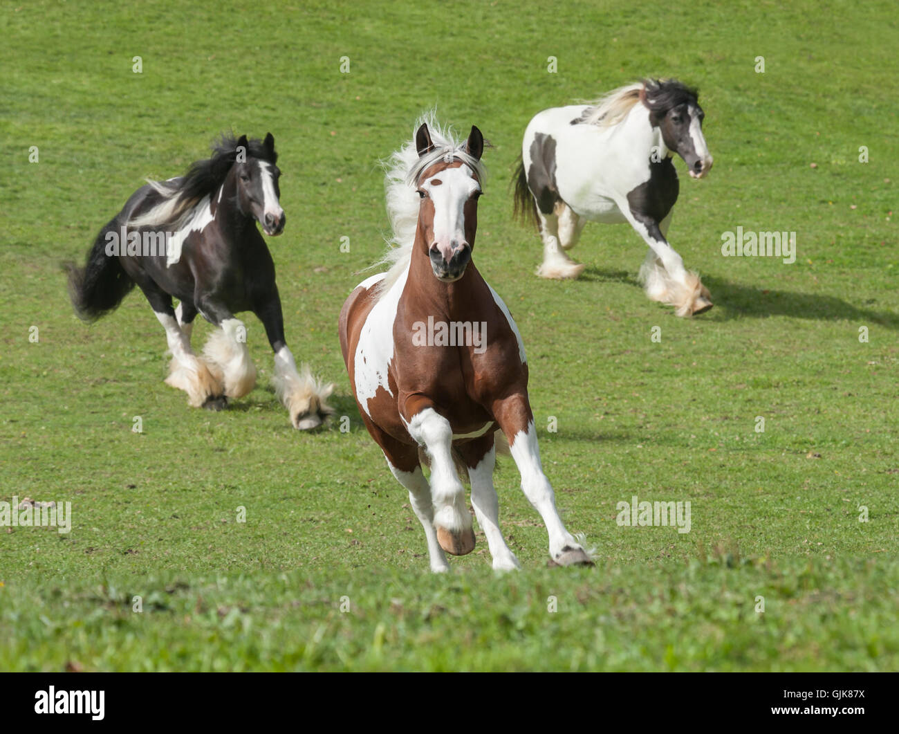 Three Gypsy Horse mares running up green slope to us - Stock Image