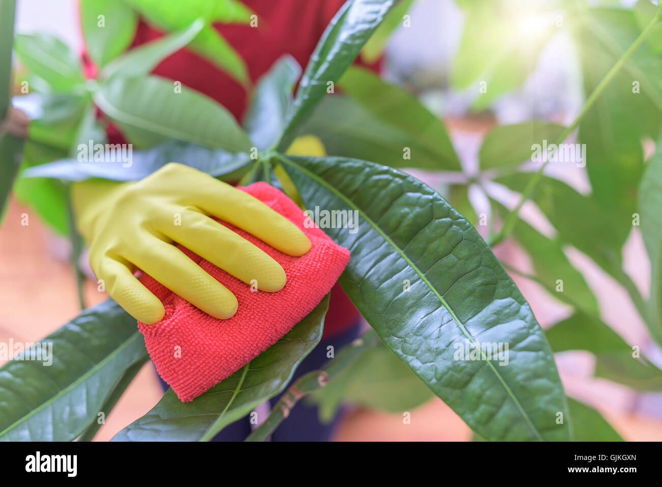 Female hands in gloves wipe dust from houseplants. - Stock Image
