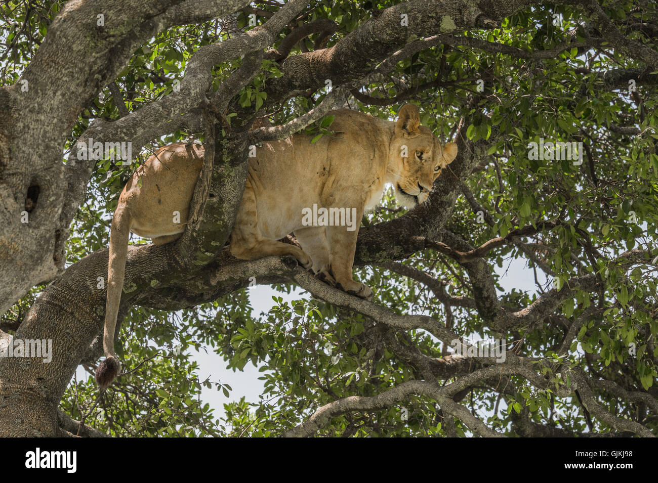 Lion in a tree - Stock Image