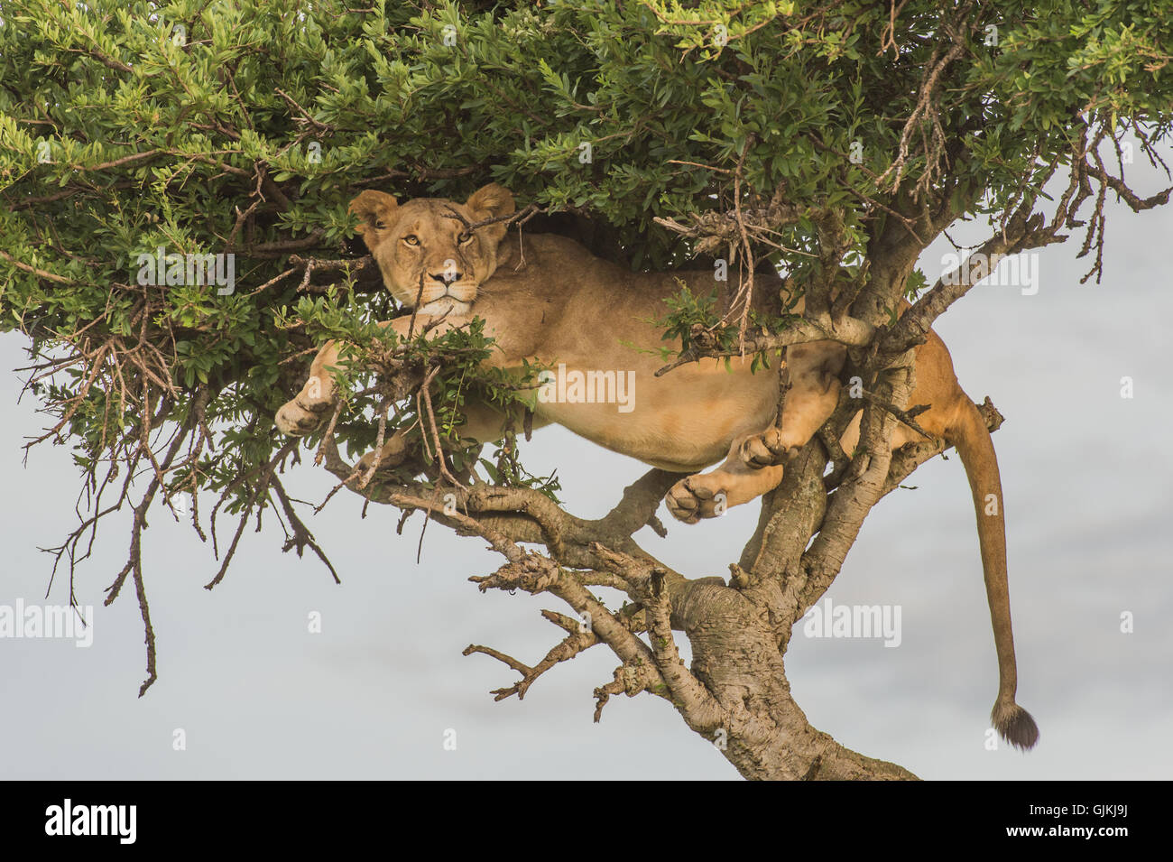 Lion in tree - Stock Image