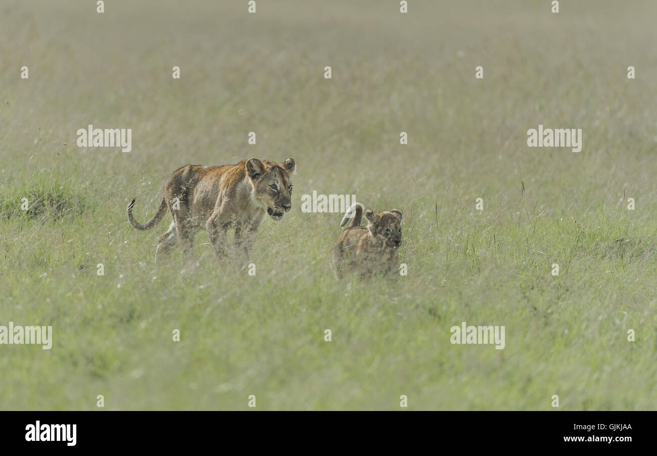 Mother and Cub walking through the long grass - Stock Image