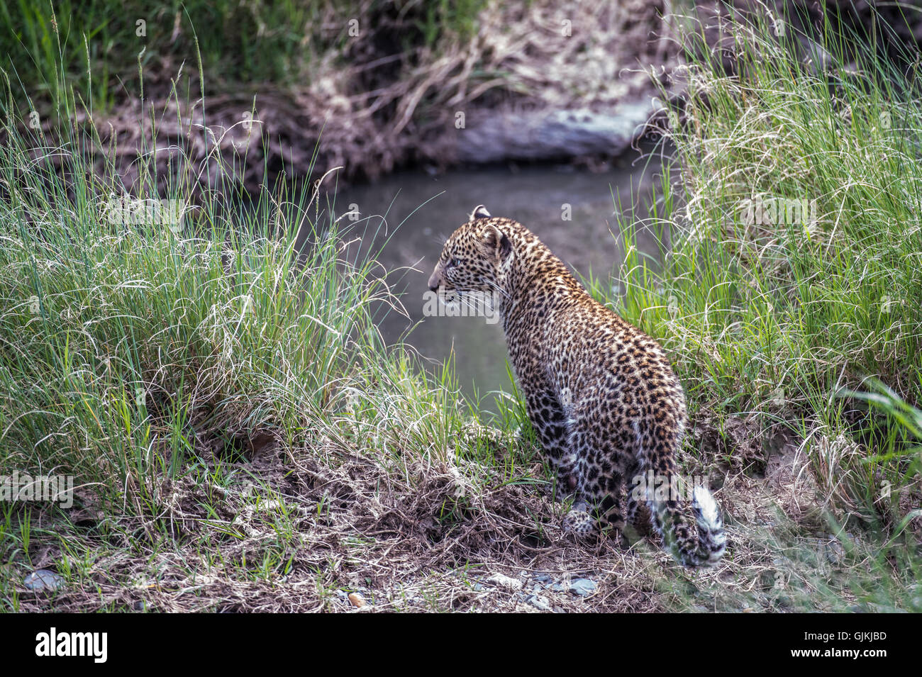 Leopard cub by river - Stock Image