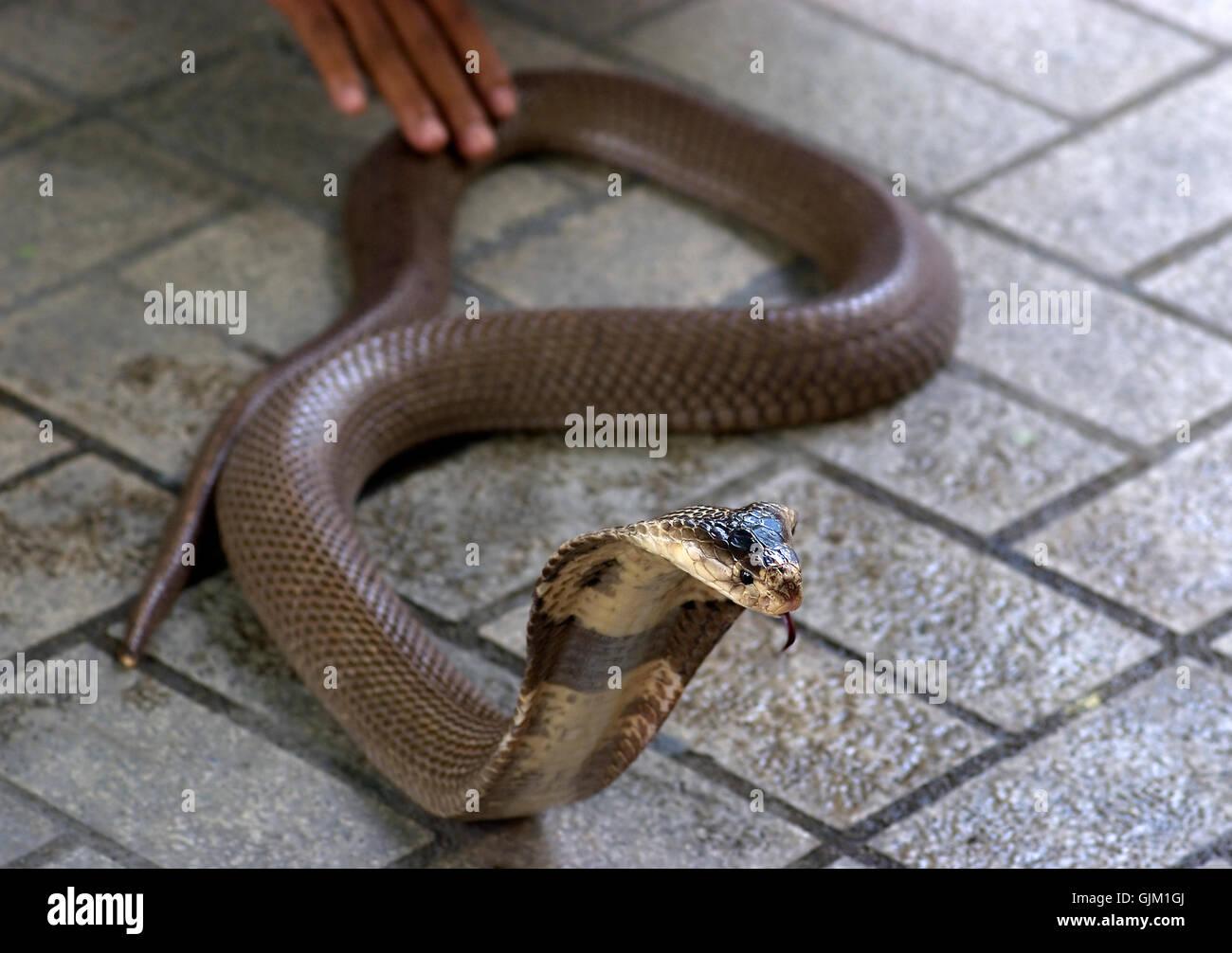 Poison Snakes Stock Photos & Poison Snakes Stock Images - Alamy