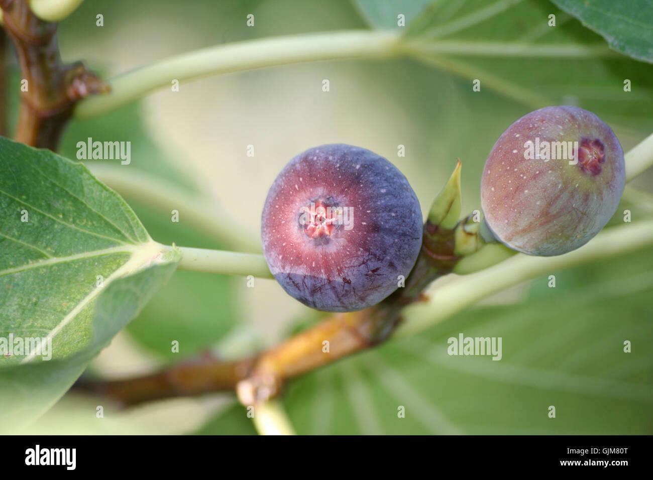 fruit mediterran figs - Stock Image