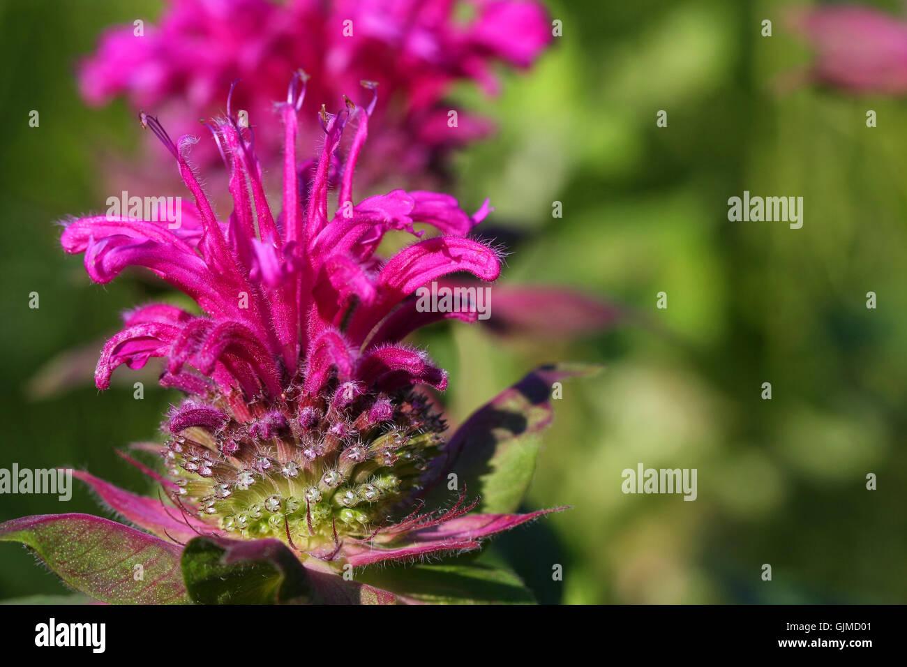 Bee Balm Flower - Stock Image