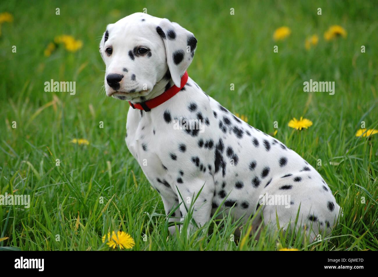 dog puppy dalmatian - Stock Image