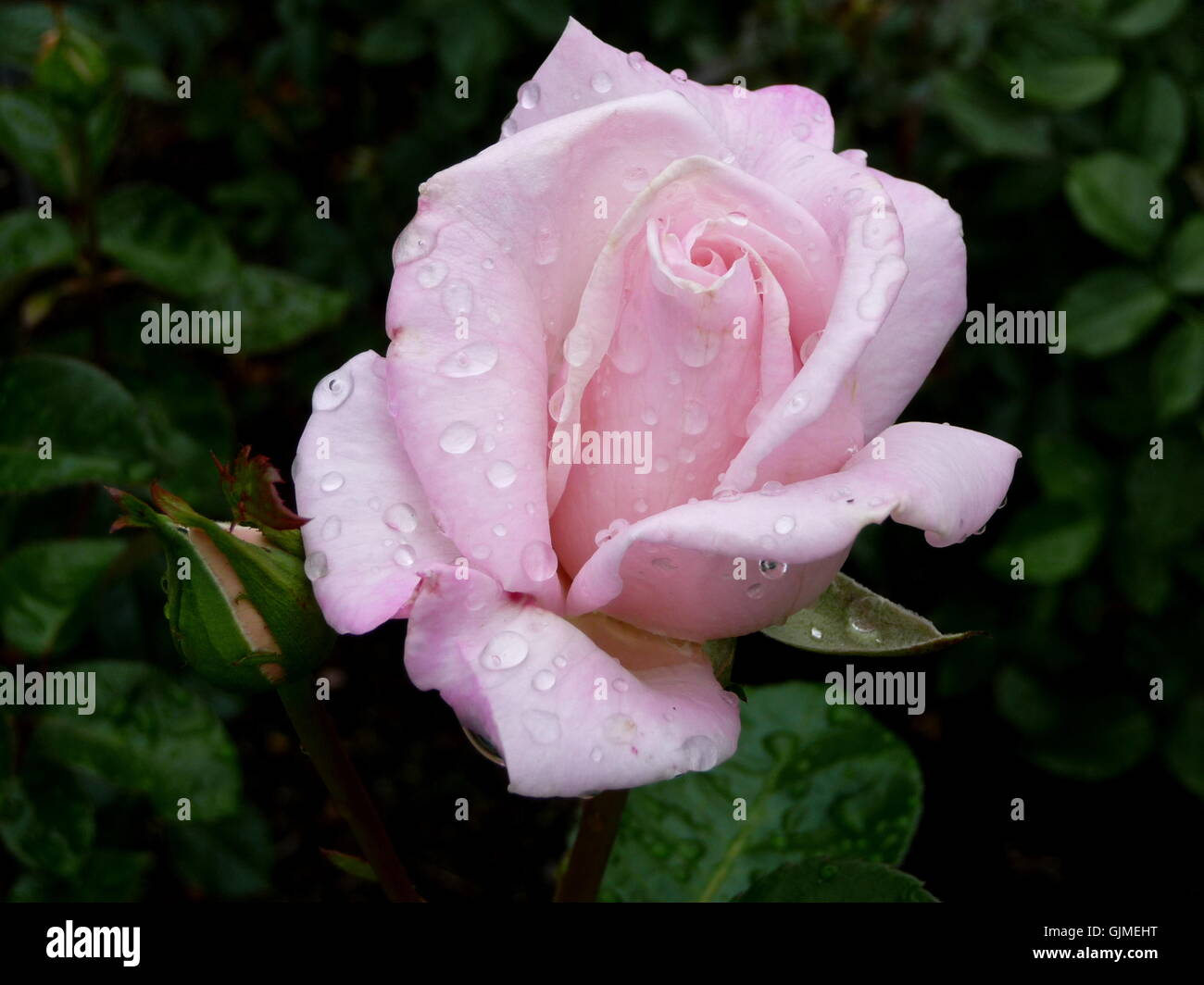 pink rose - Stock Image