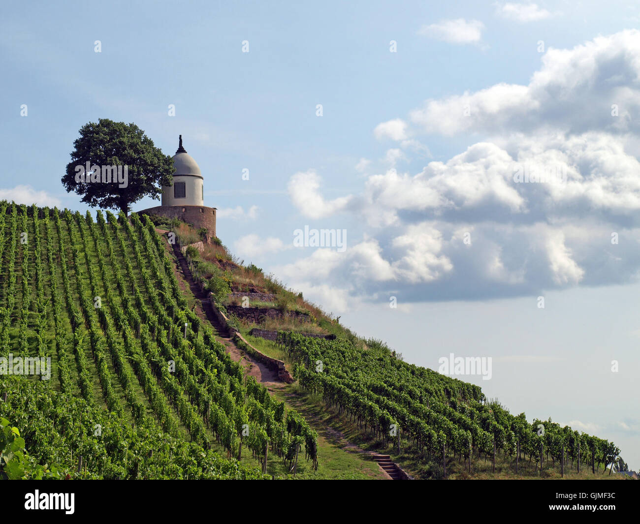 cultivation of wine vineyard Dresden Stock Photo