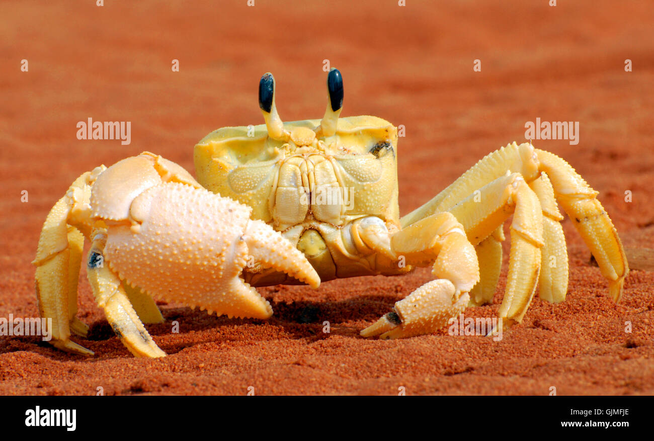 crab - Stock Image