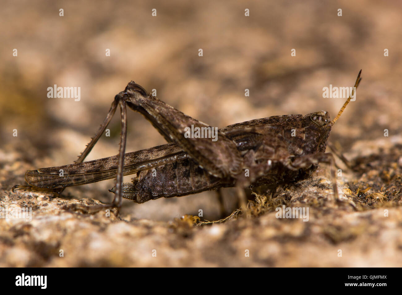 Slender groundhopper (Tetrix subulata) adult. Grasshopper-like insect in order Orthoptera with wings extending beyond - Stock Image