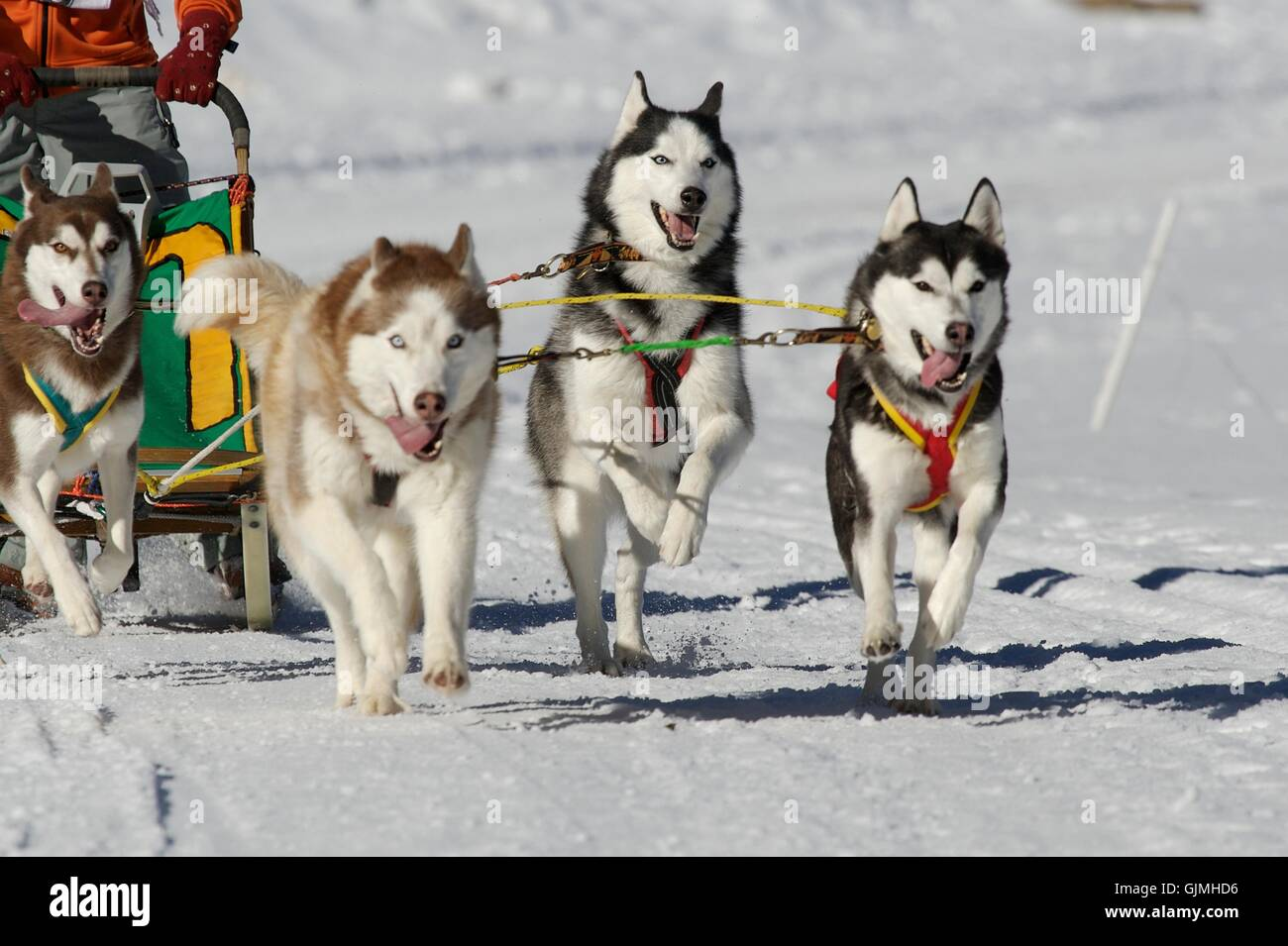 winter dogs sledge - Stock Image