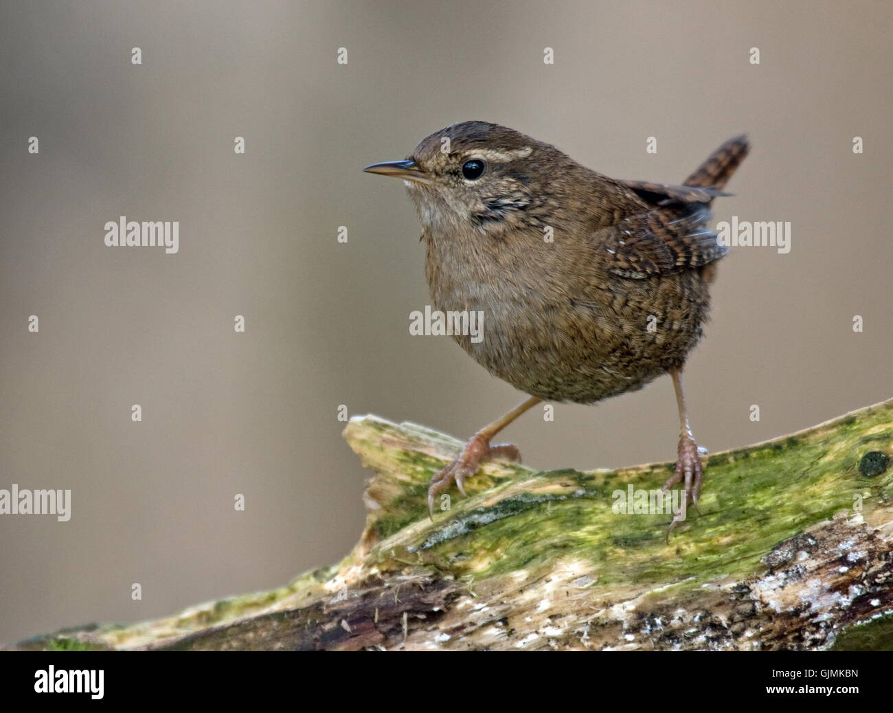 wren bird birds Stock Photo
