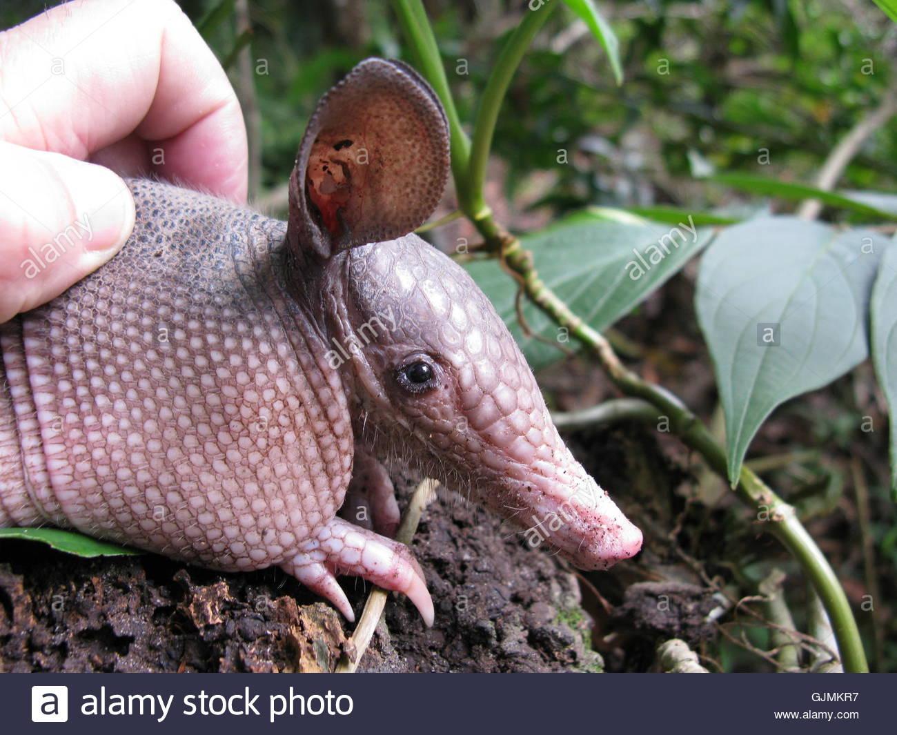 armadillo (dasypodidae),in the amazon region - Stock Image