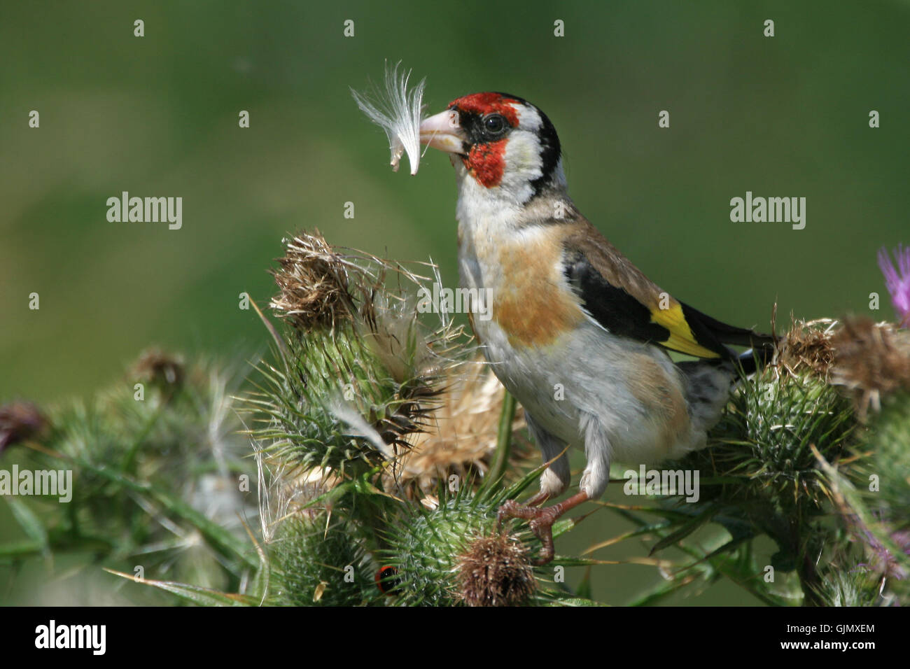 goldfinch on thistle - Stock Image