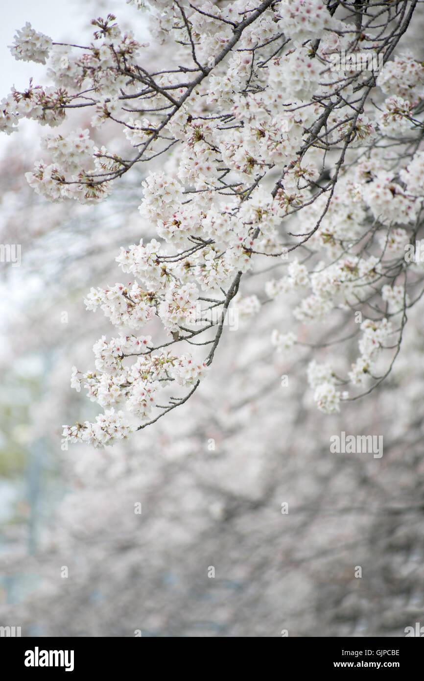 Close up cherry blossom flower (Sakura),Japan. Stock Photo