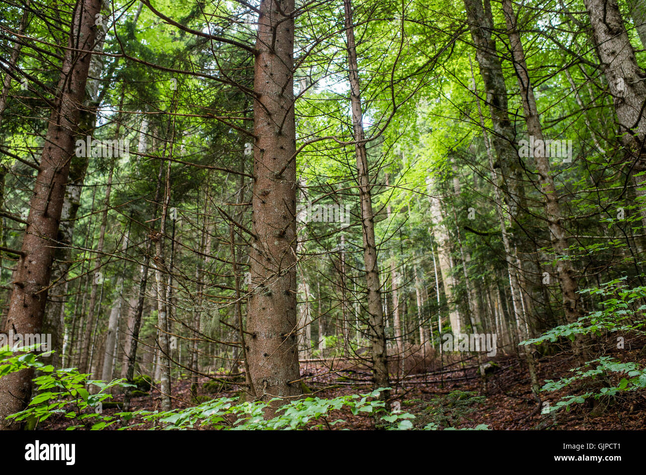 coniferous forest landscape in summer Stock Photo