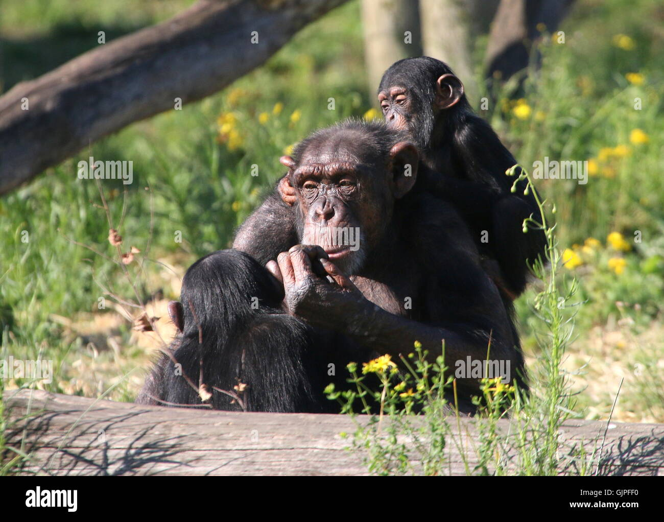 Female  Common chimpanzee (Pan troglodytes) with a youngster on her back, another young male facing her. - Stock Image
