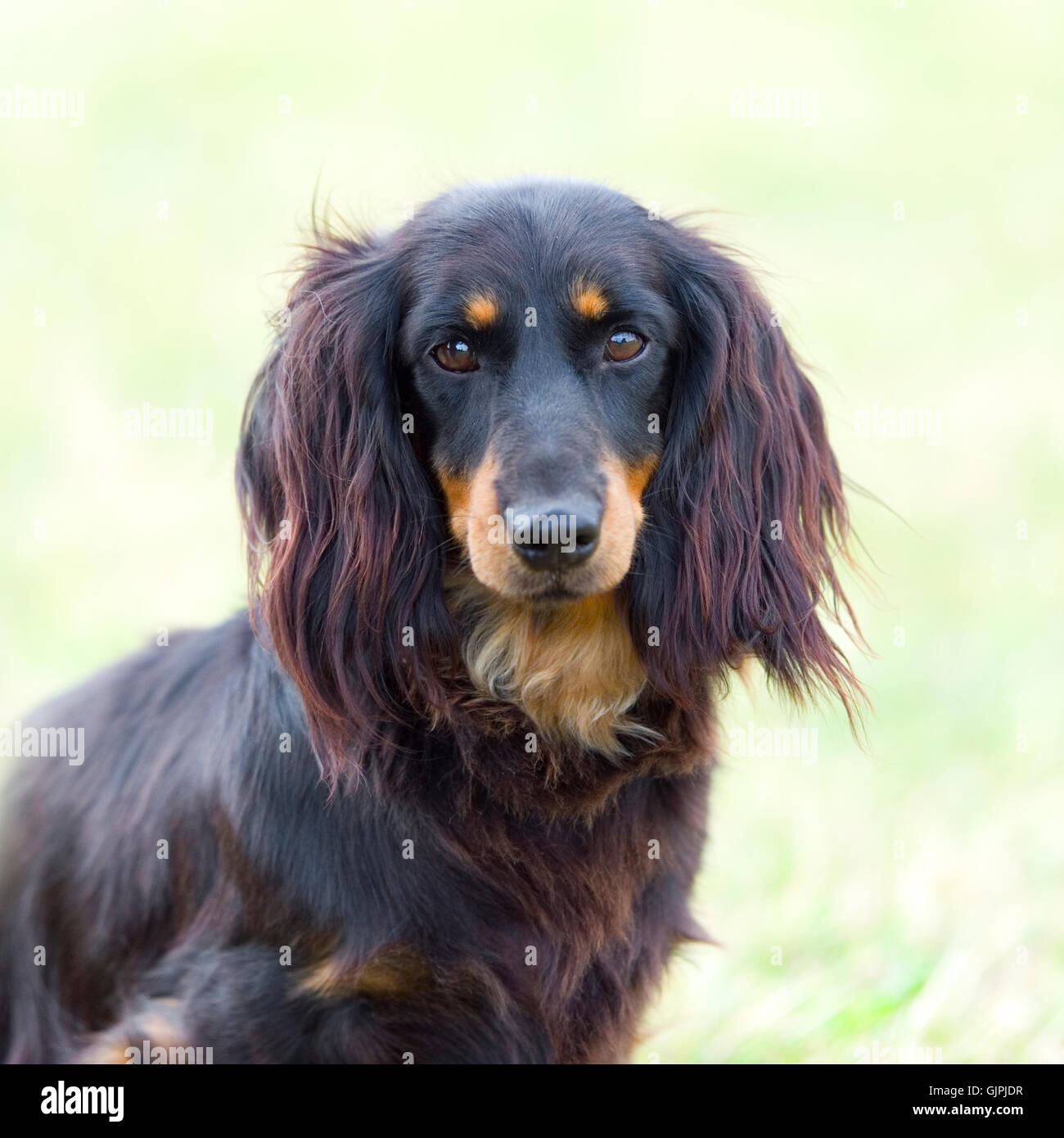 miniature longhaired dachshund Stock Photo