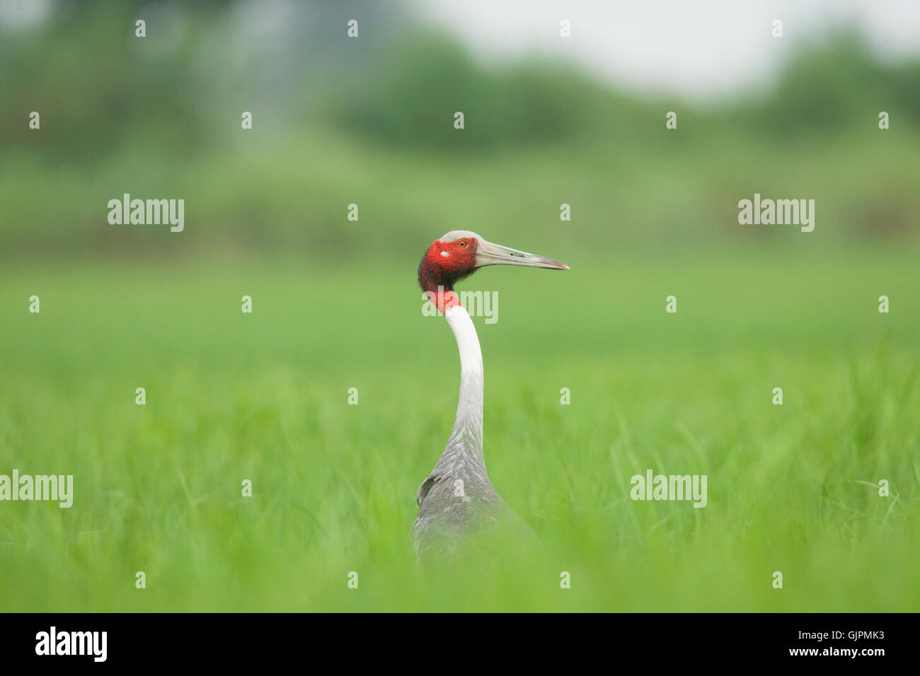 The tallest bird in flight Sarus Crane is a majestic view with ts red head and grey body and beak in Bharatpur Keoladeo - Stock Image
