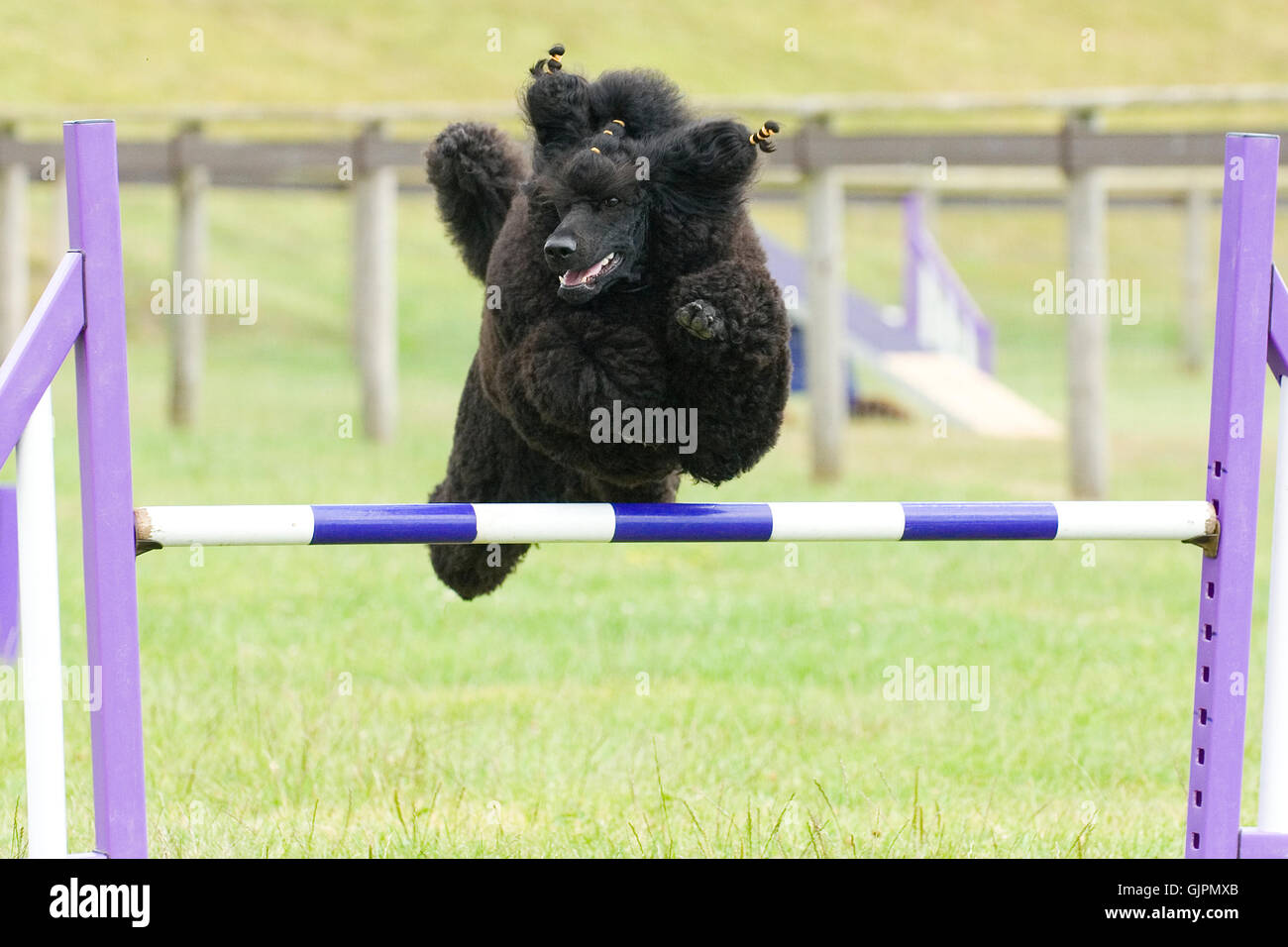 standard poodle doing agility jumping - Stock Image