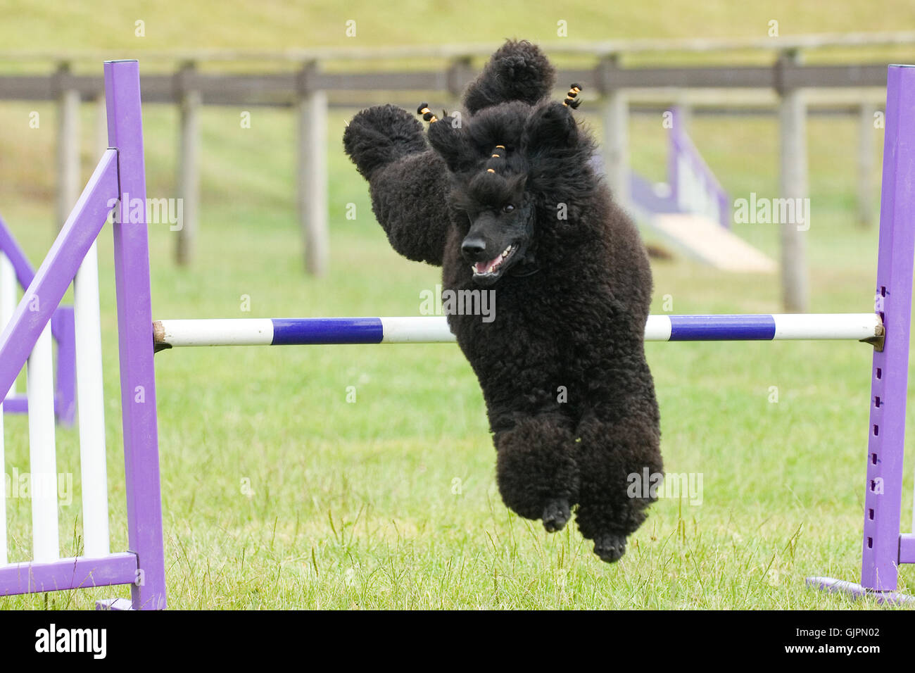 standard poodle doing agility jumps - Stock Image