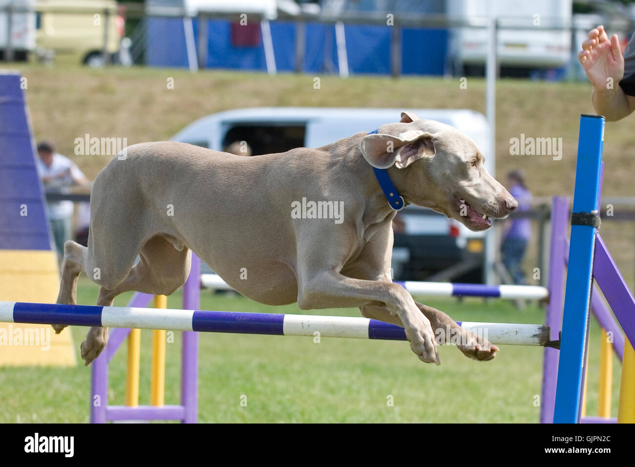 weimeraner doing agility competition - Stock Image