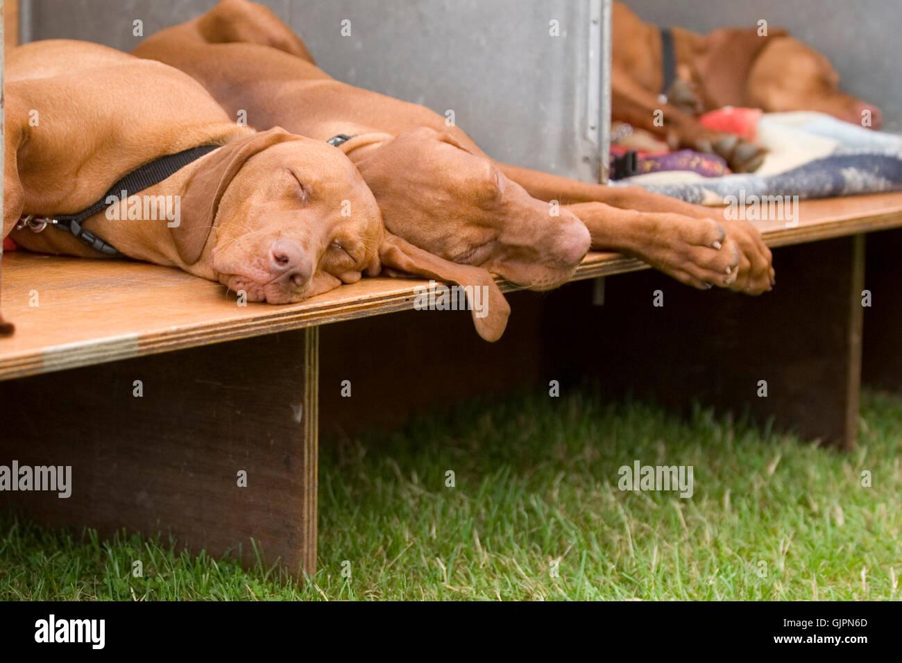 hungarian vizslas asleep at a show - Stock Image