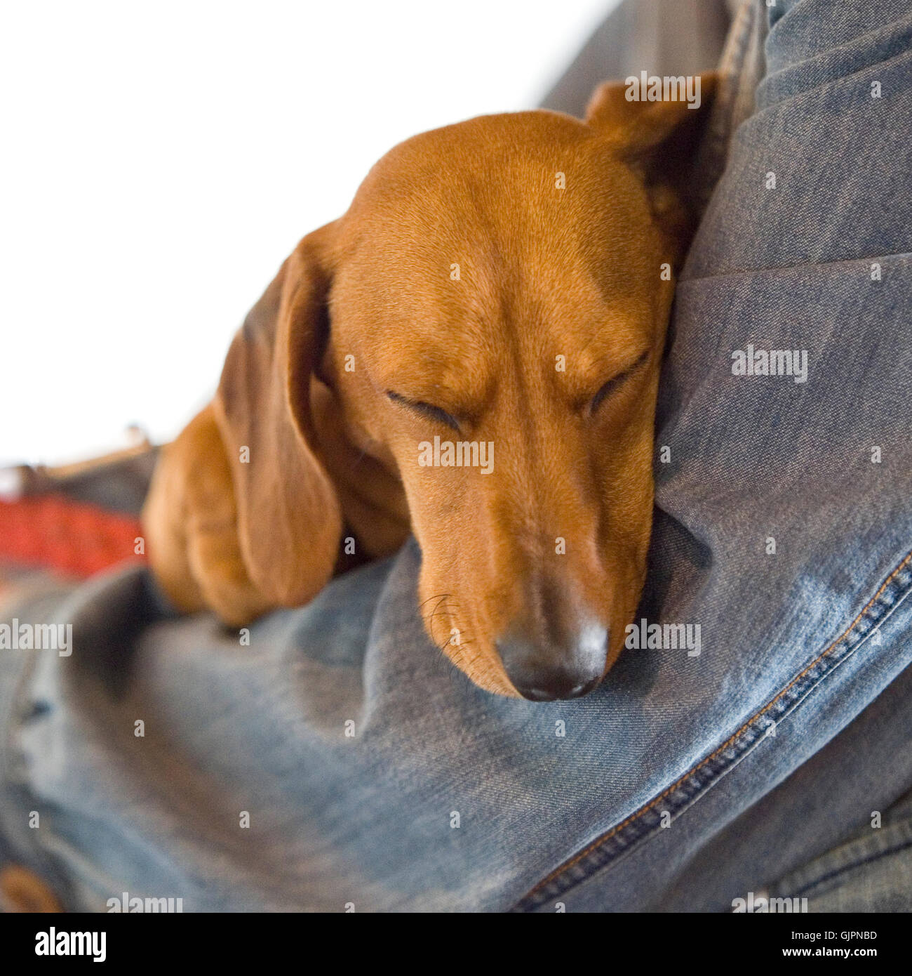 dachshund sleeping in a persons arms - Stock Image
