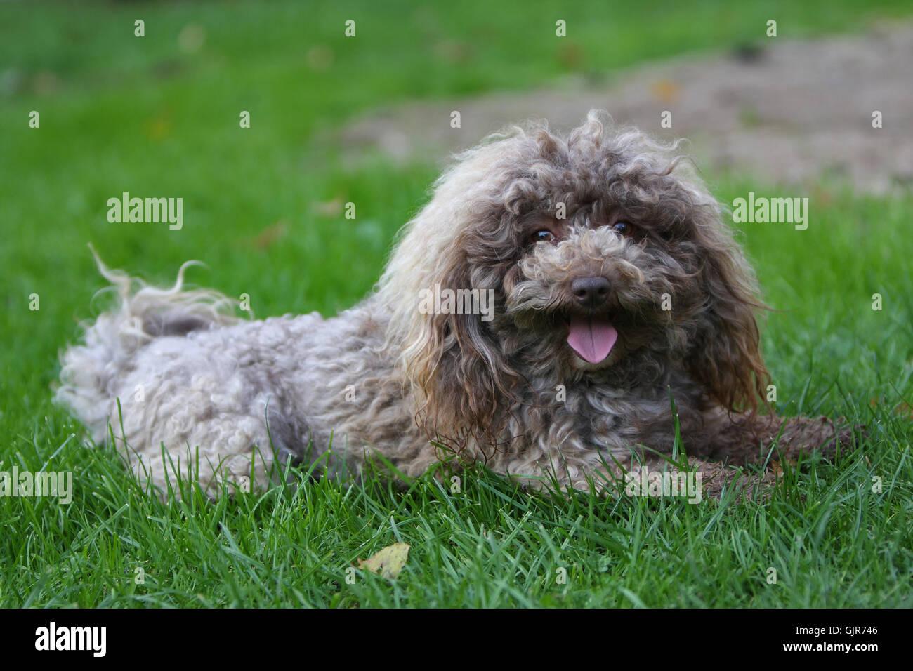 dog breed male dog - Stock Image