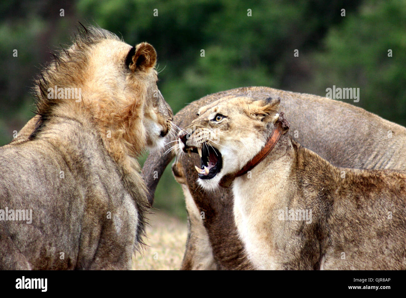 Lioness Snarling - Stock Image