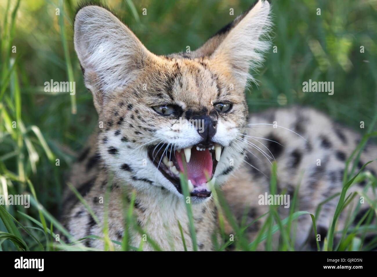 Angry Serval Wild Cat - Stock Image