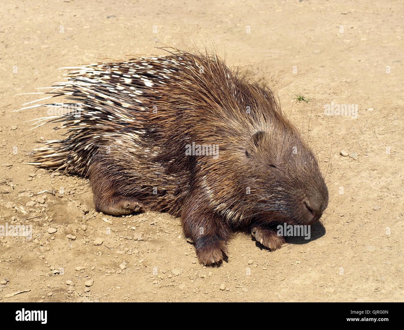 white-tailed porcupine - Stock Image