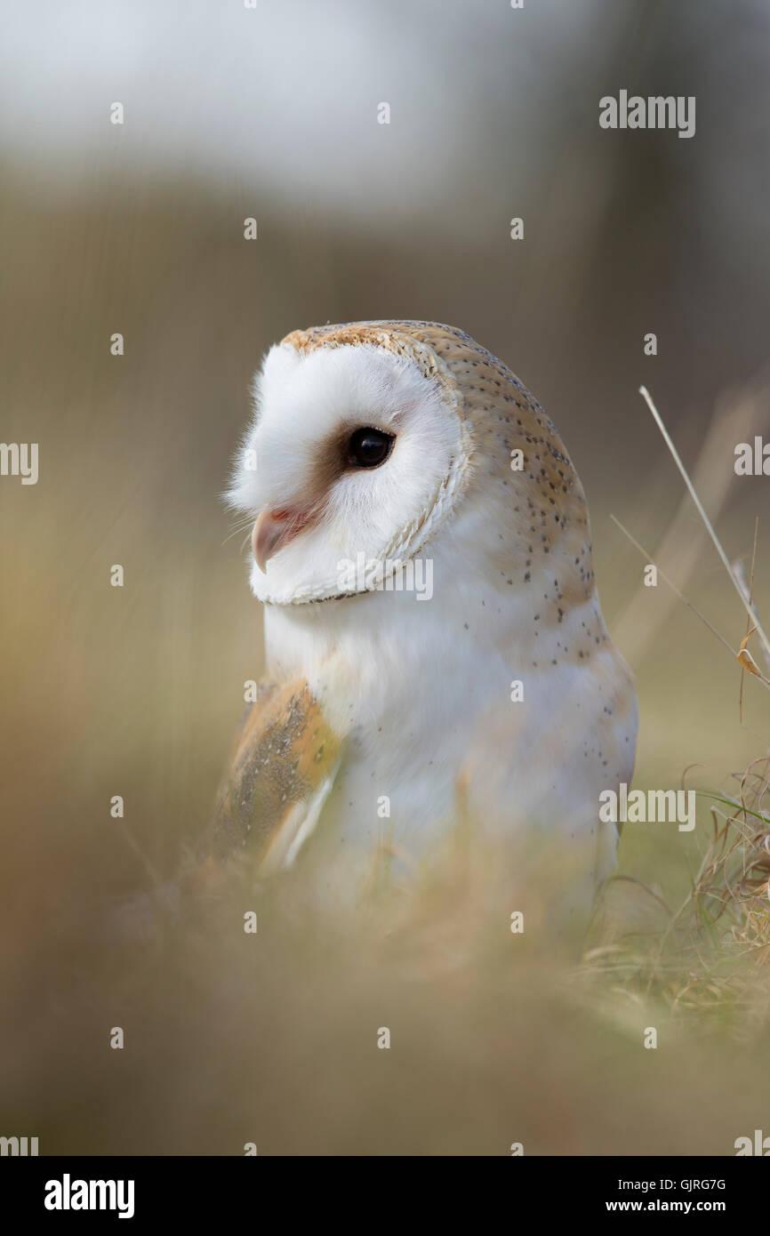 Barn Owl; Tyto alba Cornwall; UK - Stock Image