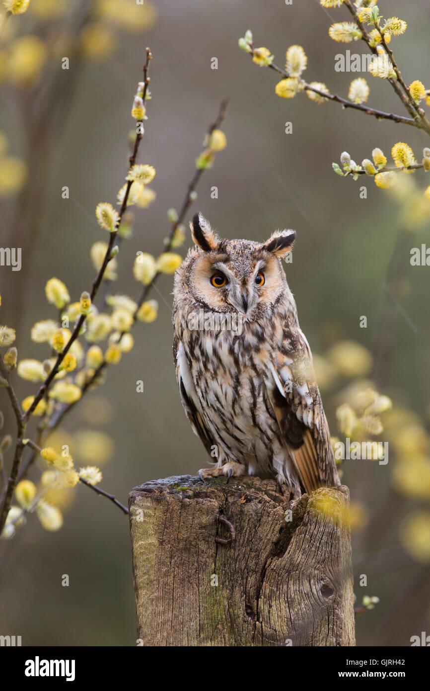 Long Eared Owl; Asio otus Single in Willow Cornwall; UK - Stock Image