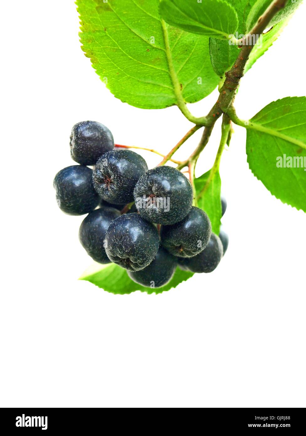 juice berry immune system - Stock Image