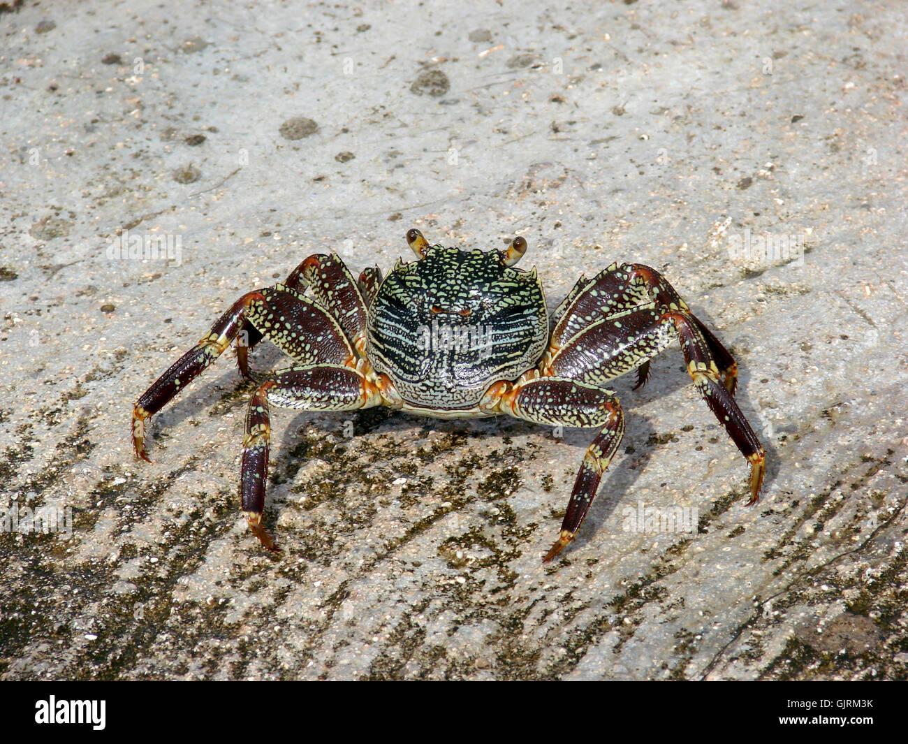 animal maldives cancer - Stock Image
