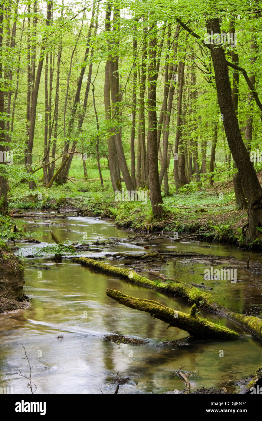 stream spring beech forest - Stock Image