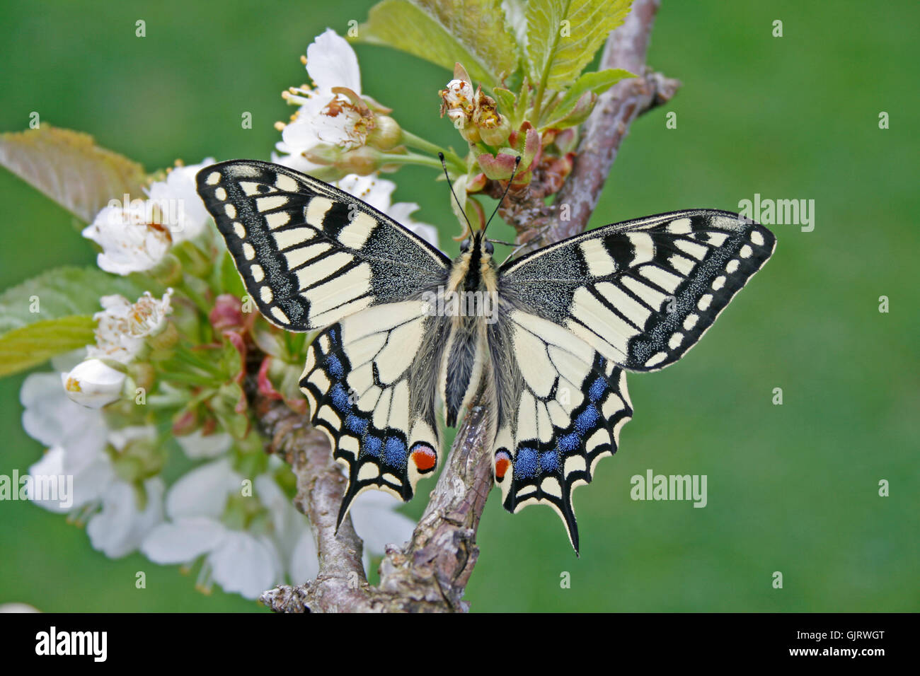 butterfly swallowtail familiy - Stock Image