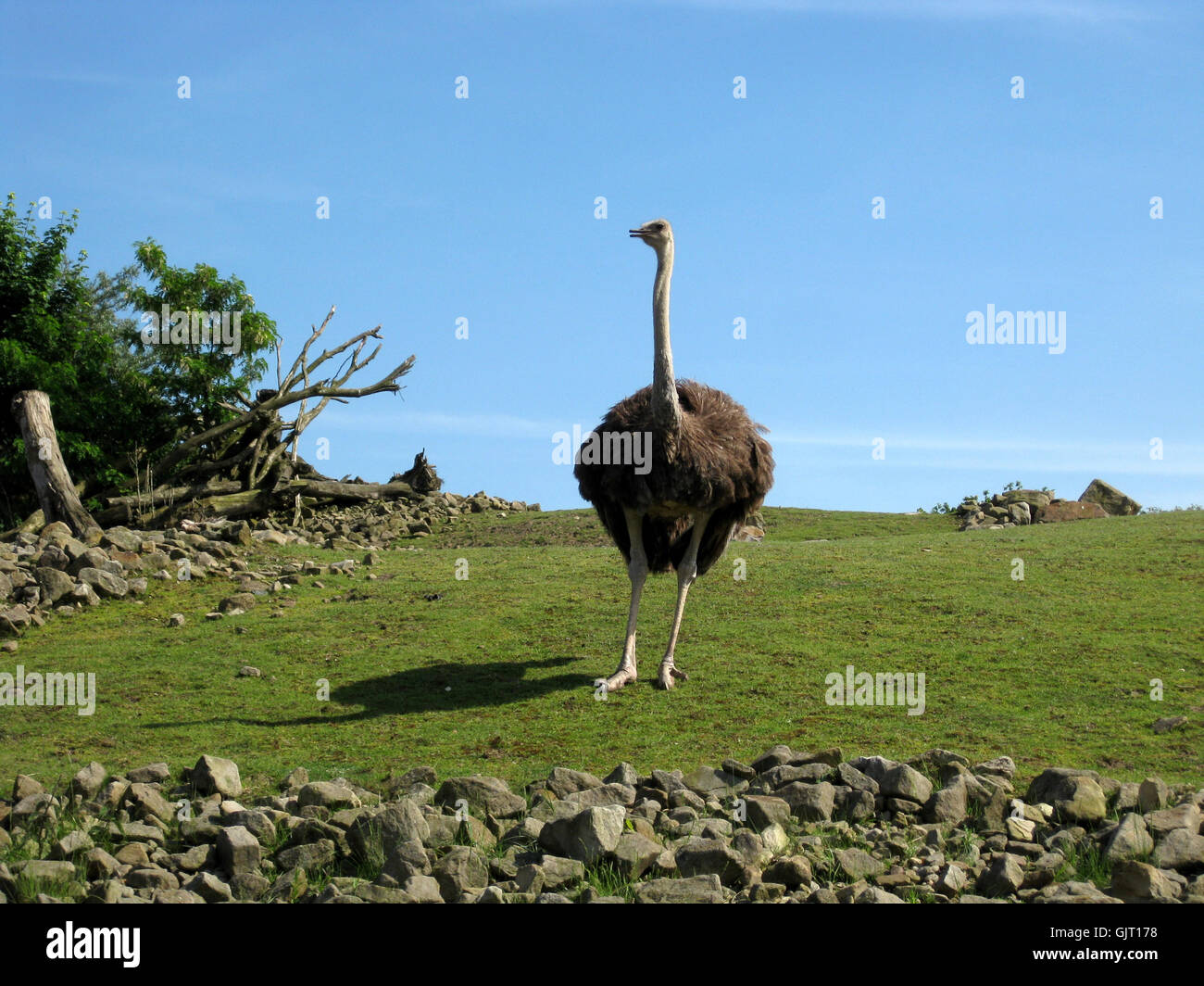 proud ostrich - Stock Image