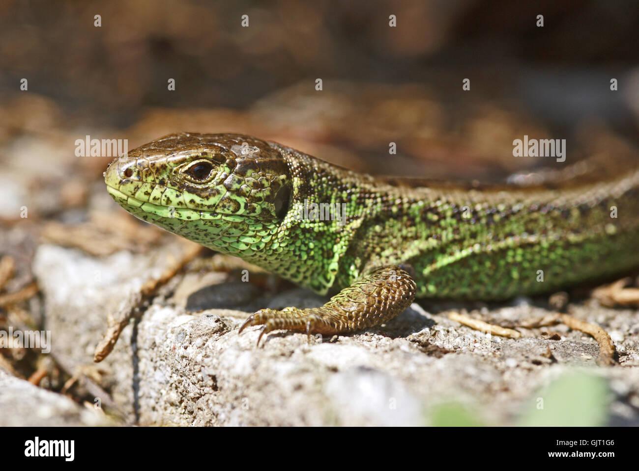 zauneidechse - Stock Image