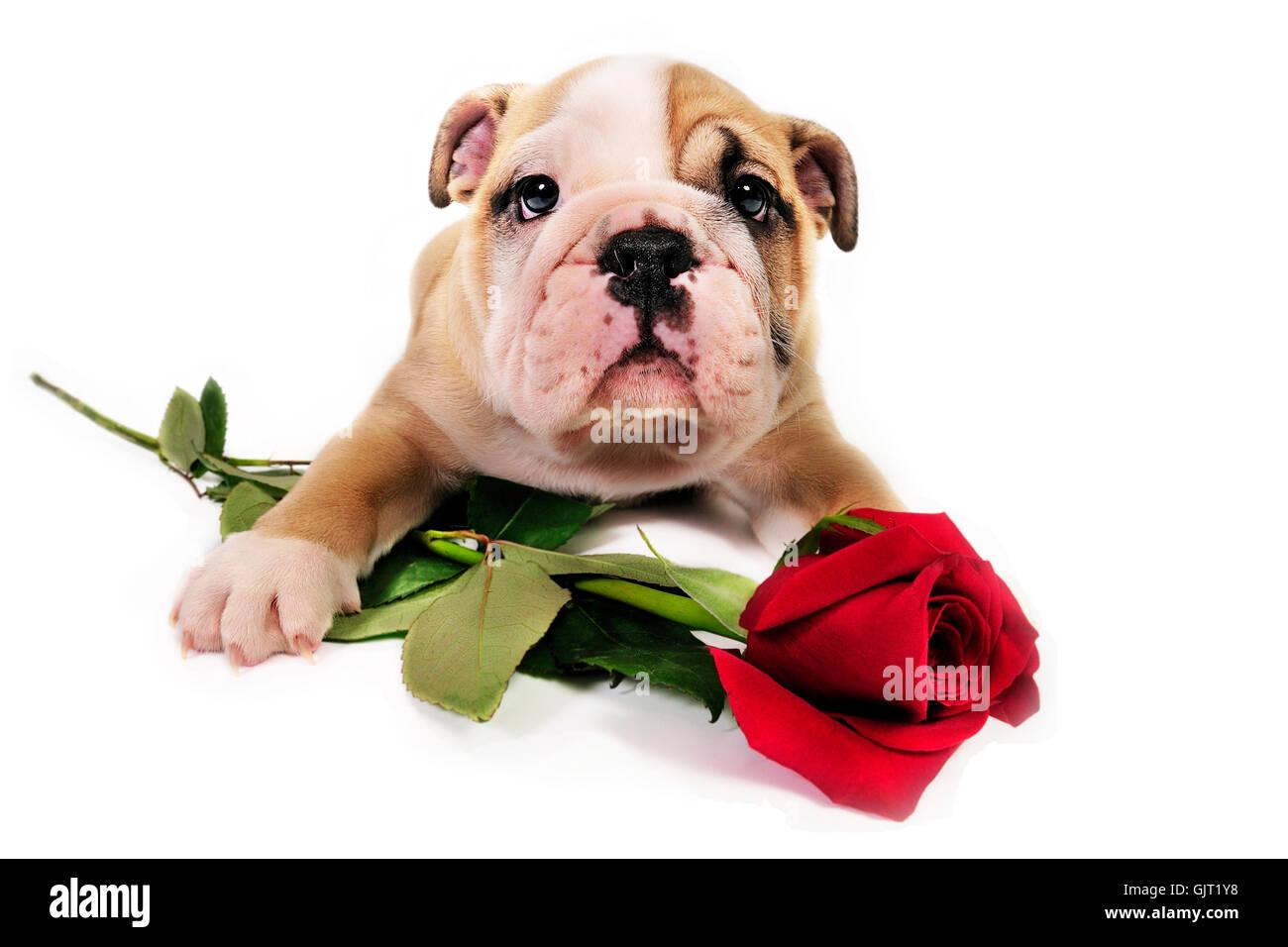 dogpuppy rose valentine animal canines companion cute dog domestic faithful flower house-pet love loving mammal - Stock Image