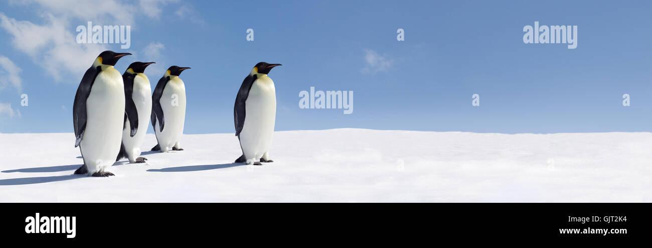 bird penguins penguin - Stock Image