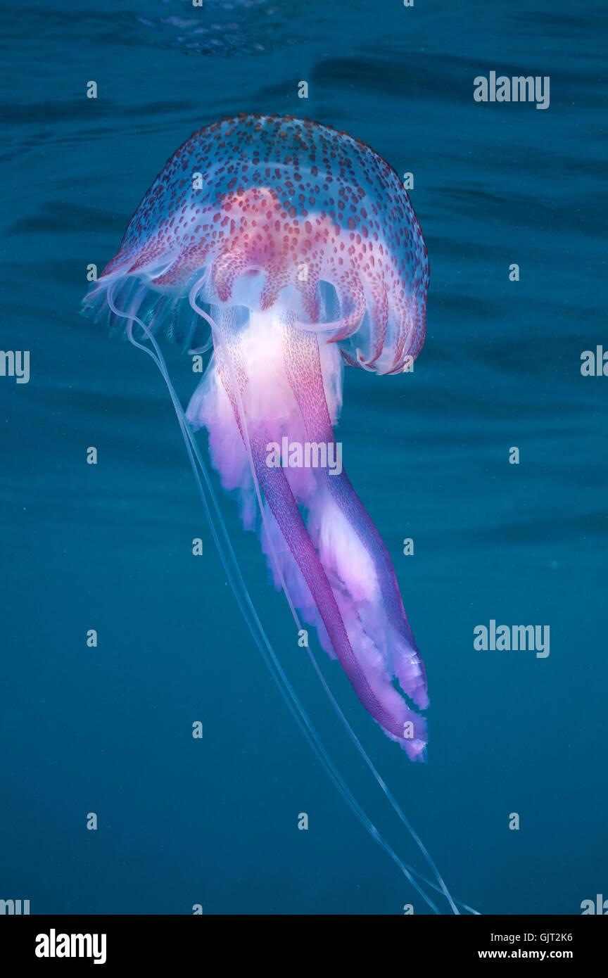 jellyfish water mediterranean - Stock Image