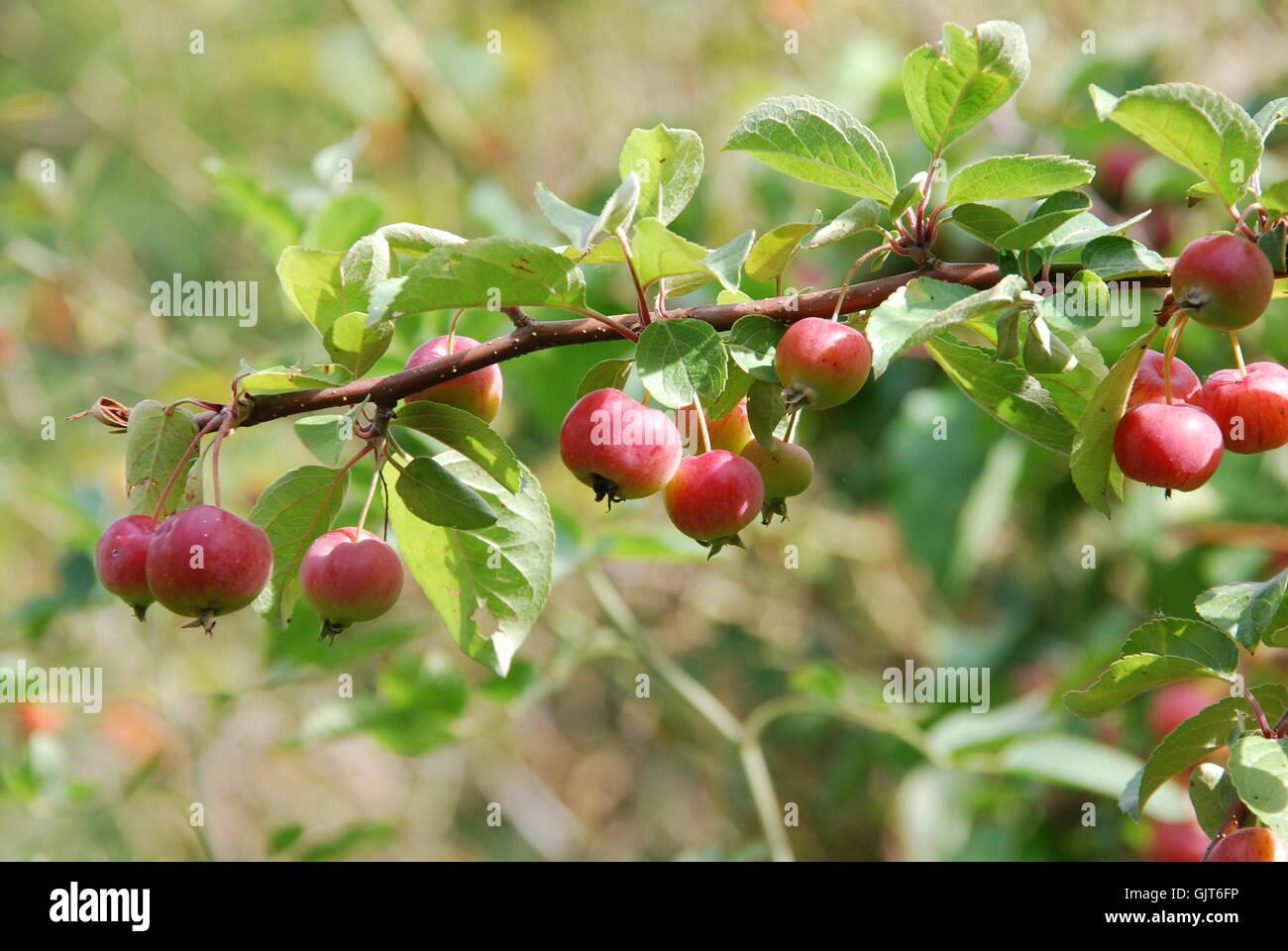 cherry apple Stock Photo