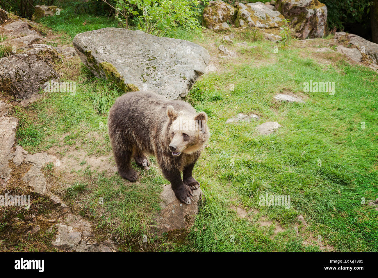 Image of a brown bear in an animal park. Sweden. - Stock Image