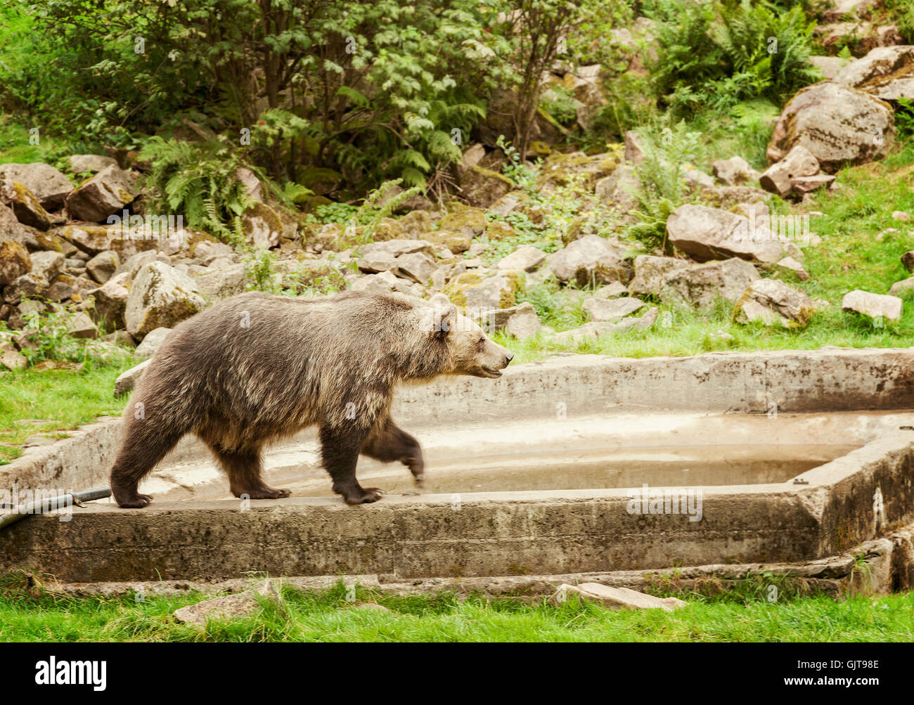 Image of a brown bear at animal park. Sweden. - Stock Image